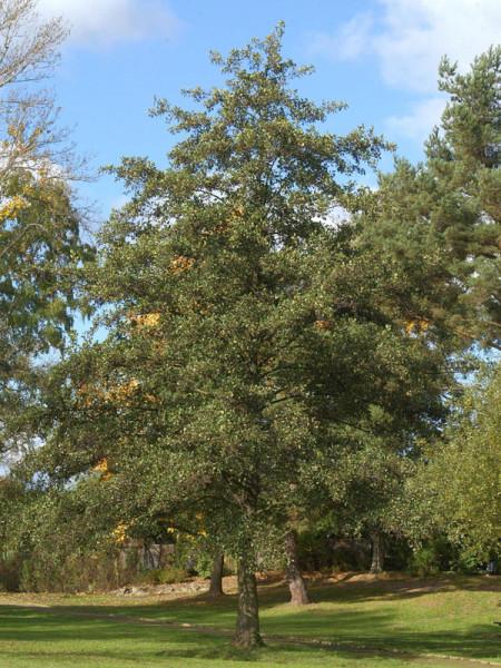 Schwarzerle (Alnus glutinosa) Roterle