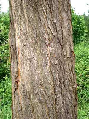 Rosskastanie (Aesculus hippocastaneum)