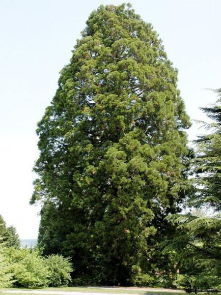 Sequoiadendron giganteum Solitärbaum