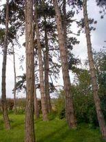pinus-nigra-austr-forst
