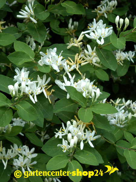 Heckenkirsche (Lonicera xylosteum)