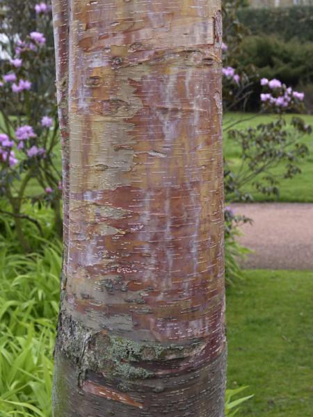 Kupferbirke (Betula albosinensis)