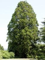 Sequoiadendron giganteum, Kalifornischer Mammutbaum