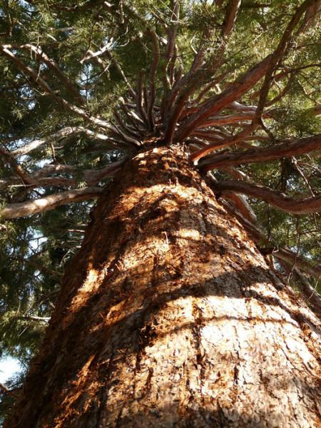 Stamm eines Mammutbaums