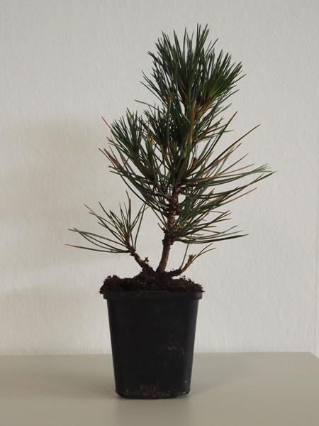 Japanische Schwarzkiefer (Pinus thunbergii)