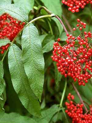 Traubenholunder (Sambucus racemosa)