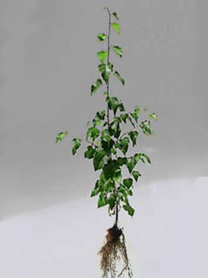 Moorbirke (Betula pubescens) - XL Produkt