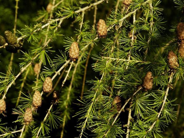 Europaeische Lärche (Larix decidua)