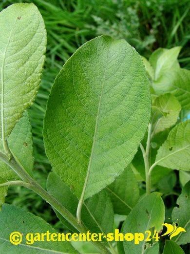 Salix caprea (Salweide, Palmweide)