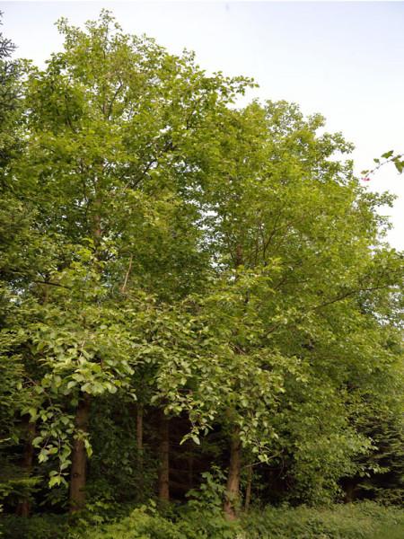 Nordamerikanische Rot-Erle (Alnus rubra)