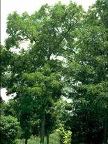juglans-nigra-forst