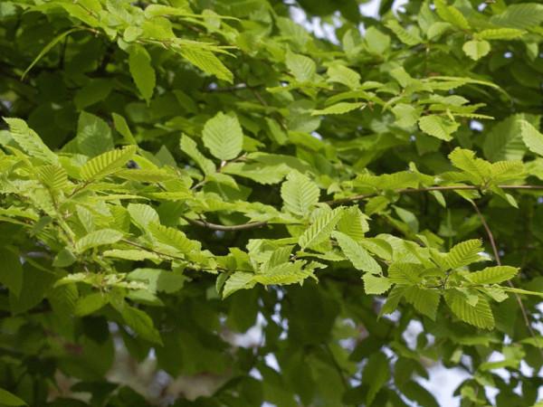 Hainbuche, Weissbuche (Carpinus betulus) - XL Produkt