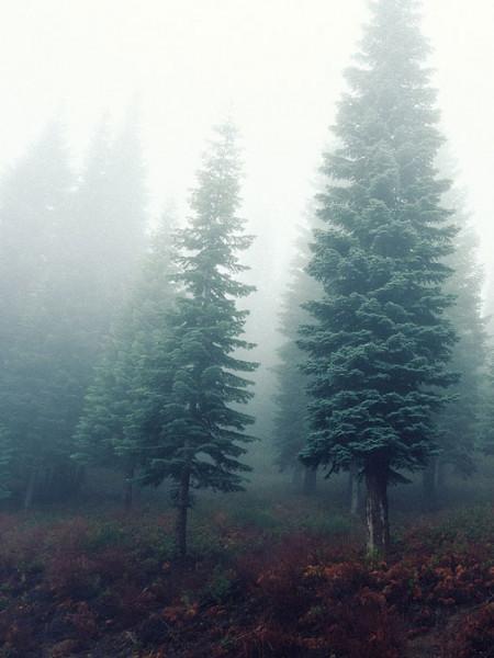 Prachttanne, kalifornische Rottanne (Abies magnifica)