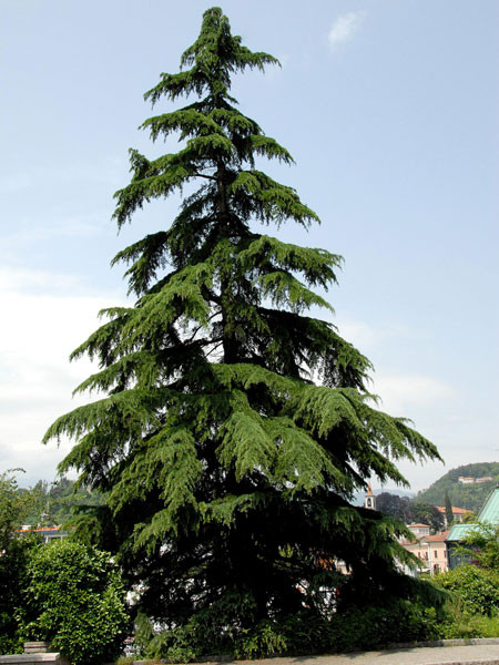 Himalaya-Zeder (Cedrus deodora)