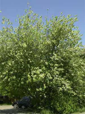 Echte (frühe) Traubenkirsche (Prunus padus)