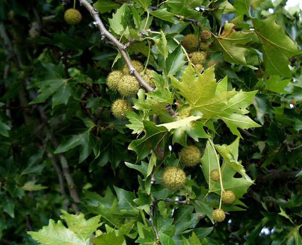 Morgenländische Platane (Platanus orientalis)