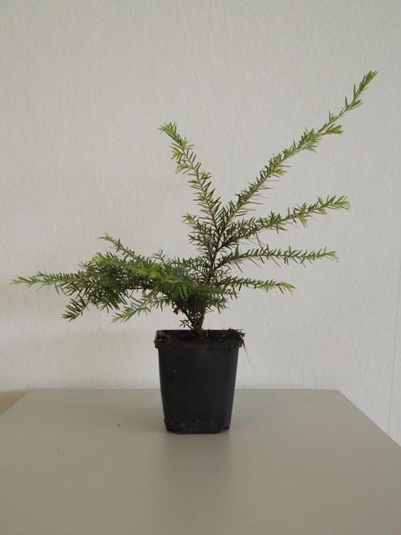 Westamerikanische Hemlocktanne (Tsuga heterophylla)