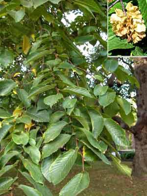 Bergulme (Ulmus glabra)
