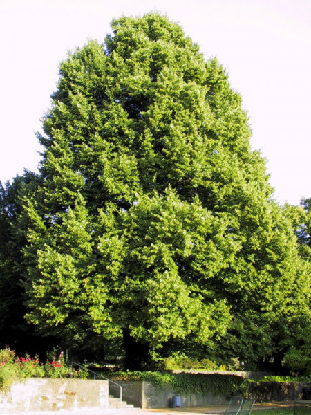 Winterlinde (Tilia cordata)