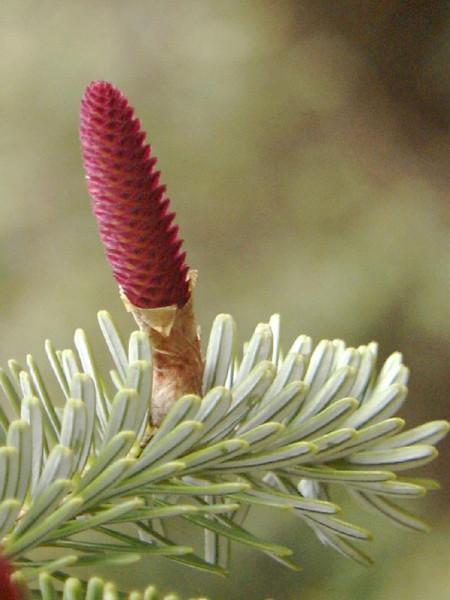 Nikko-Tanne (Abies homolepis)