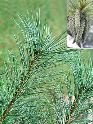 Strobe/Weymouthskiefer (Pinus strobus)