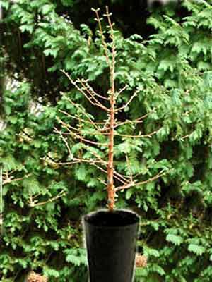 Urweltmammutbaum (Metasequoia glyptostroboides)