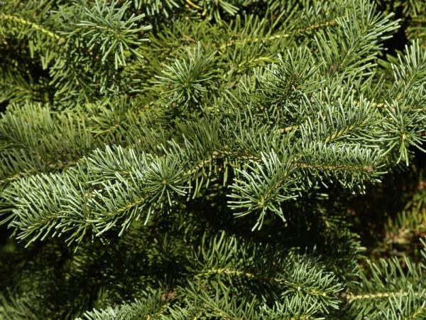 Korktanne (Abies lasiocarpa arizonica)