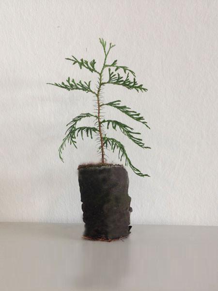 Riesenlebensbaum, Rotzeder (Thuja plicata)