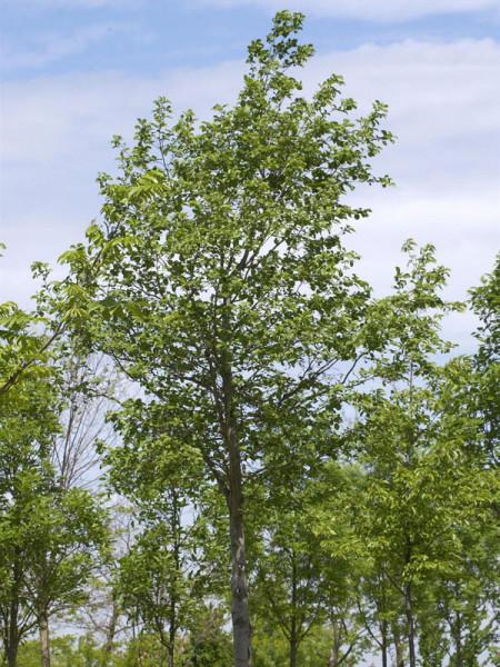 Weisserle (Alnus incana) Grauerle - XL Produkt