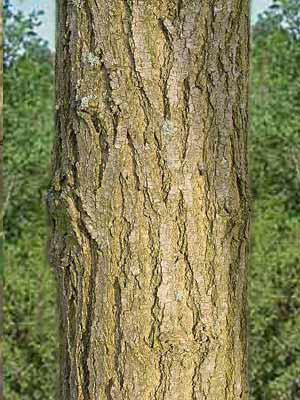 Robinie (Robinia pseudoacacia), Scheinakazie