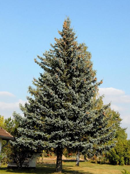Blaufichte, Blautanne (Picea pungens glauca)