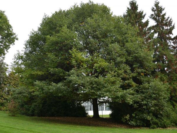 Traubeneiche (Quercus petraea) - XL-Produkt