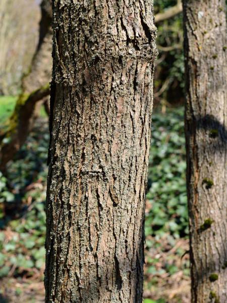 Prächtiger Trompetenbaum (Catalpa speciosa)