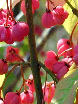 Pfaffenhütchen (Euonymus europaeus)