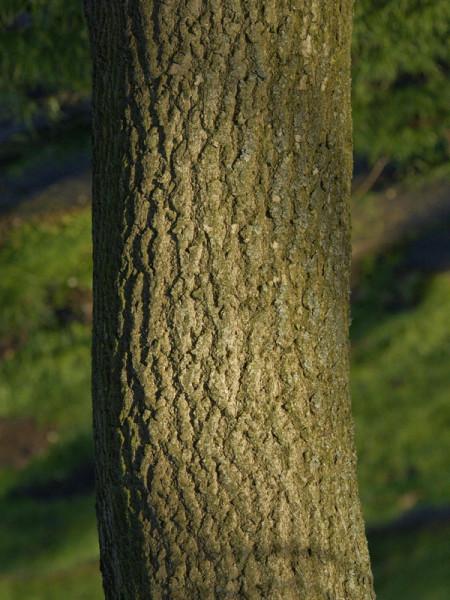 Guttaperchabaum (Eucommia ulmoides)