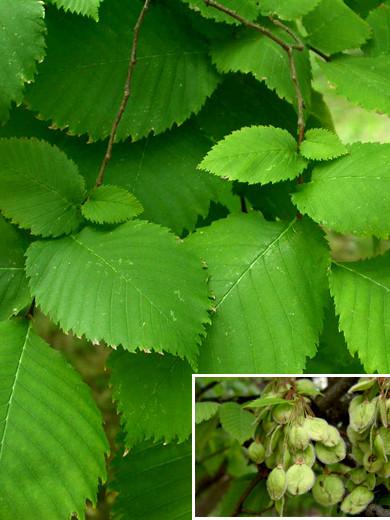 Flatterulme (Ulmus laevis)
