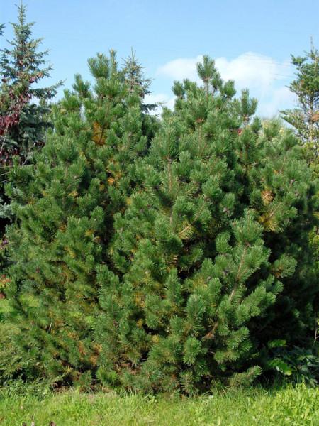 Bergkiefer/Latsche (Pinus mugo)
