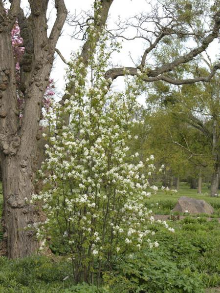 Gemeine Felsenbirne (Amelanchier rotundifolia)