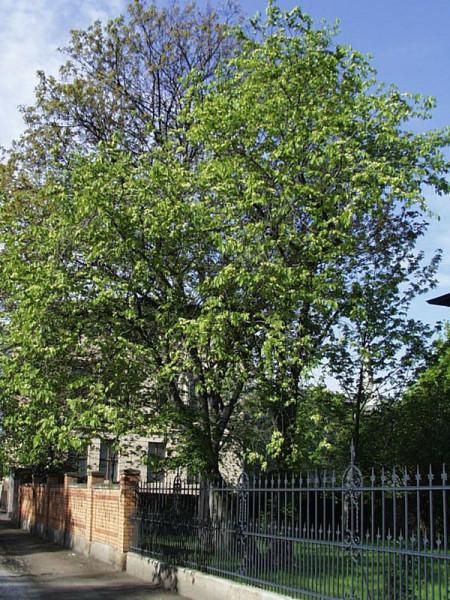 Feldulme (Ulmus carpinifolia)