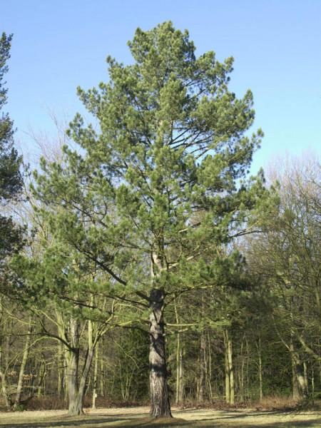 Schwarzkiefer (Pinus nigra austriaca)