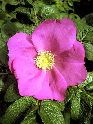 Kartoffelrose, Apfelrose (Rosa rugosa)