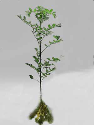 Esche (Fraxinus excelsior)