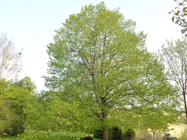Sommerlinde (Tilia platyphyllos) - XL Produkt