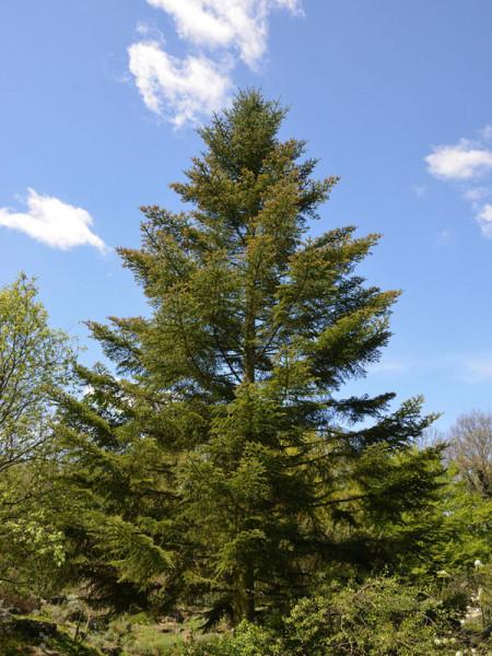 Weisstanne (Abies alba)