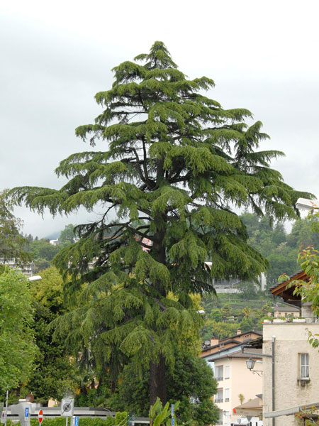Libanon-Zeder
